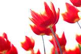 Red yellow tulip flower