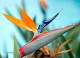 Flower - Bird of Paradise