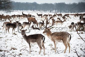 Beautiful image of Fallow Deer in snow Winter landscape