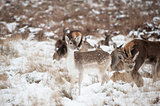Beautiful image of Fallow Deer and red deer in snow Winter lands
