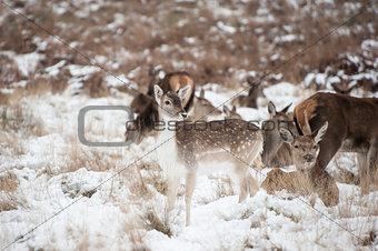 Beautiful image of Fallow Deer and red deer in snow Winter lands