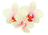 three orchid flowers