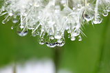 Dandelion in close with morning dew