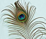 Peacock feather on a green backgrou