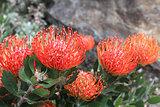 Leucospermum - Pincushion Protea