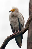 The egyptian vulture, also called the white scavenger vulture or