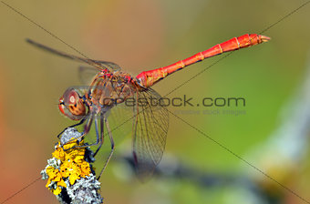 red dragonfly at rest; sympetrum vulgatum