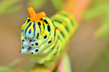 wild caterpillar of Papilio Macaone