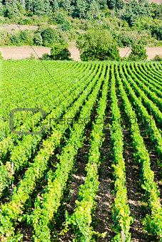 vineyard, Burgundy, France