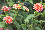 Lantana Flowers and Berries
