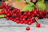 berry of red viburnum