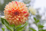 Variegated Dahlia Flower Closeup