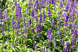 Blue Salvia  flowers