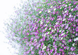 Closeup Gypsophila flower