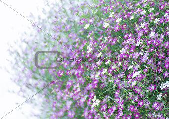 Closeup Gypsophila flower