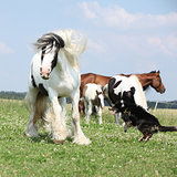 Irish cob playing with border collie