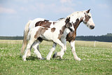 Nice irish cob mare with foal on pasturage