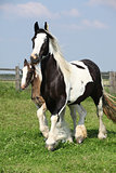 Nice irish cob mare with foal on pasturage