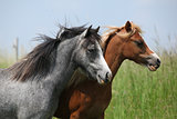 Two young ponnies on pasturage