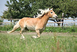 Beautiful haflinger running on pasture