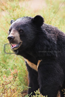 Asian Black Bear portrait