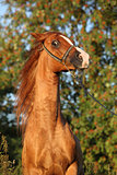 Gorgeous arabian horse prancing in the evening