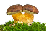 Pair of adnate boletus badius mushrooms