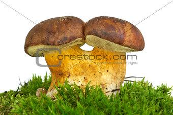 Pair of adnate boletus badius mushrooms