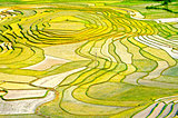 Gold Rice Terraces of Baping