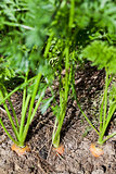 top view of carrots on garden bed