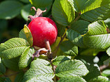 rose hip in green leaves