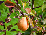 ripe pear on tree in fruit orchard