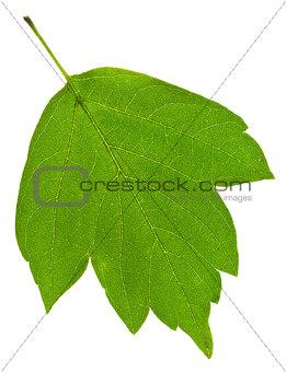 green ash tree leaf
