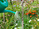 garden watering from watering can