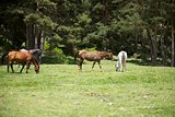 four horses in Gredos natural park