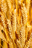 gold wheat ears background