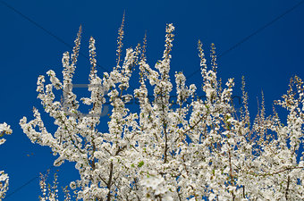 Blooming spring tree branches with white flowers over blue sky