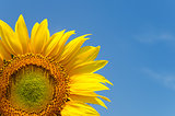 yellow sunflower on clear sky