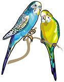 australian parakeets