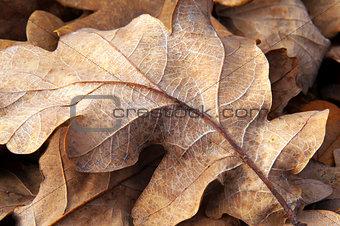 Old oak leaf