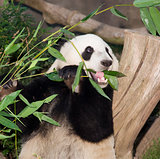 Panda Eats Lunch