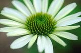 Echinacea purpurea white coneflower flower