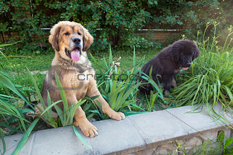 Two Tibetan mastiff puppy outdoors