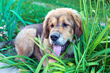 Tibetan mastiff puppy outdoors