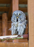 Lapland (Great Gray) Owl