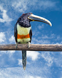 Black-necked Aracari