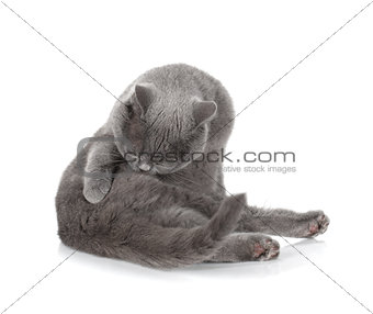 Grey cat cleaning fur