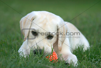 labrador puppy playing with a ball