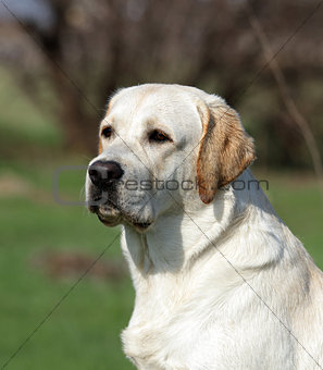 A yellow labrador in the park