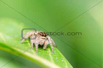 Spider in green leaf background